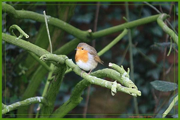 a robin by andymark