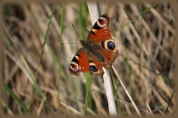 peacock butterfly by andymark