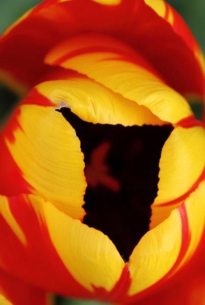 *Tulip II* by rach_h
