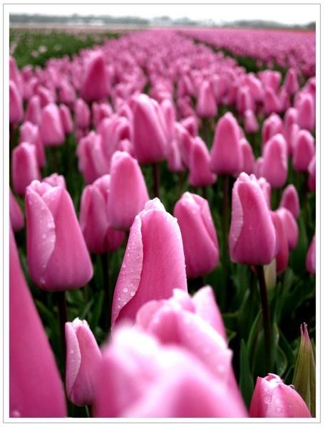 Tulips by reachakash
