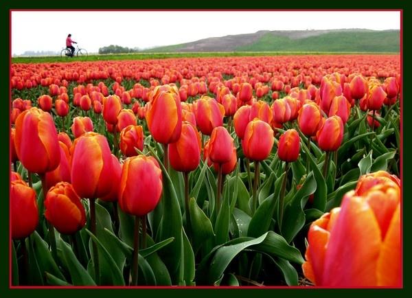 Tulip fields by reachakash