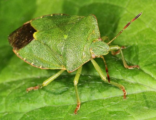 Green Sheild Bug (Palomena viridissima) by cambirder