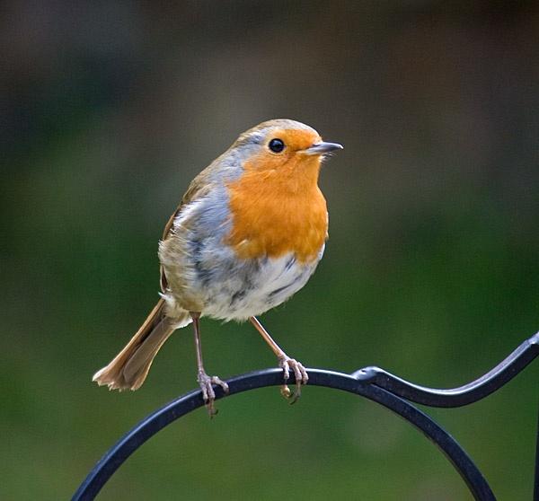 Robin in the garden by pfairhurst