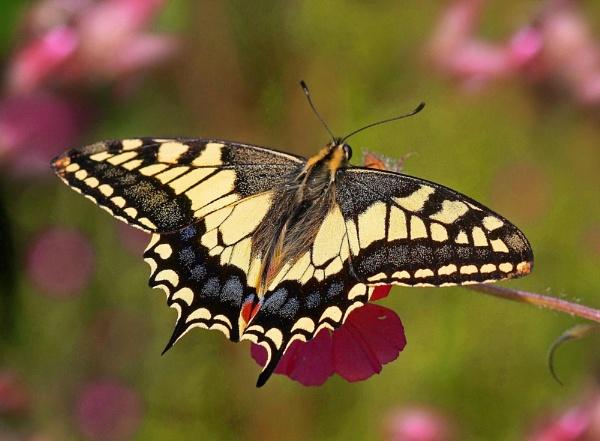Swallowtail Summer 2 by Julian