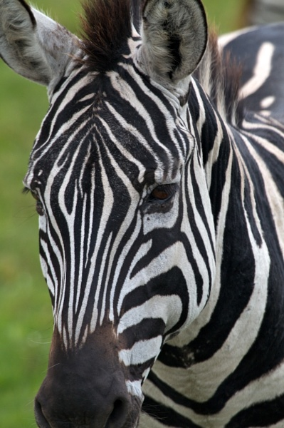 More Zebra.. by rogerfry