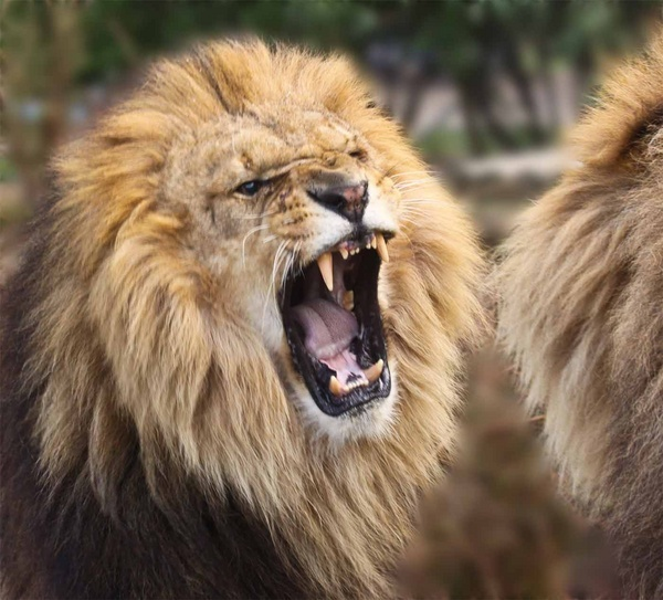 I\'m an angry lion by Seanf