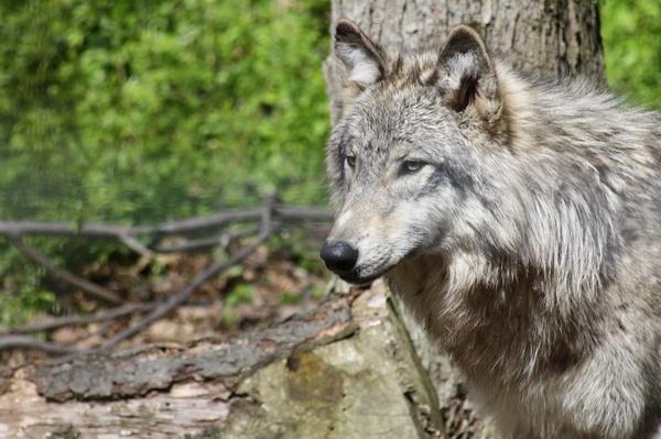 Wolf by idz612