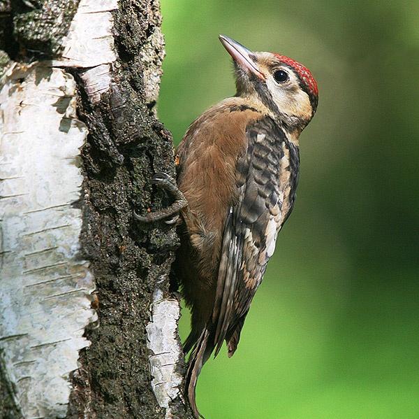 Green Woodpecker by paulbroad
