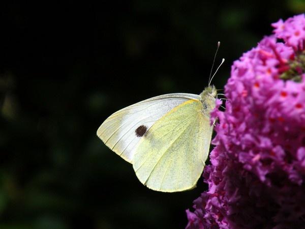Butterfly by Emmybear