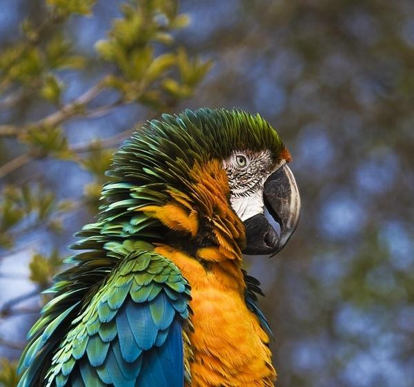 Blue Gold Macaw by Misty56