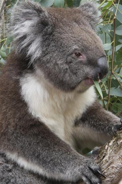 Koala by marriedandhappy