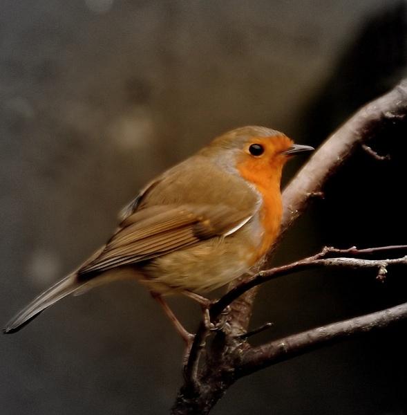 Robin by STEVELIN