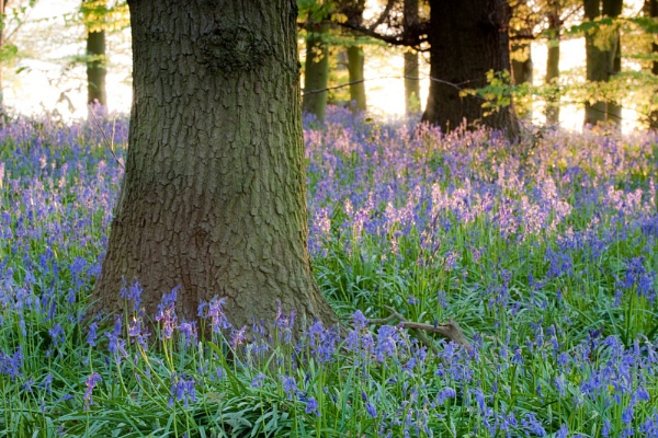 Bluebell Woods by RFphotography