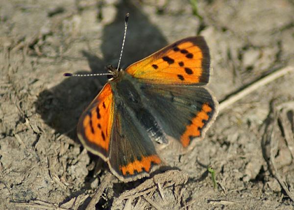 Little Butterfly ? by SiSheff