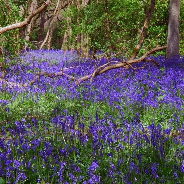 Bluebell Woods by geoffmilner