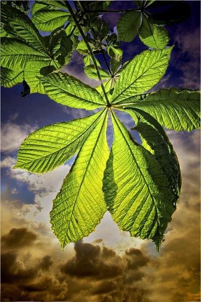 Spring Horse Chestnut Leaf.. by paulcr