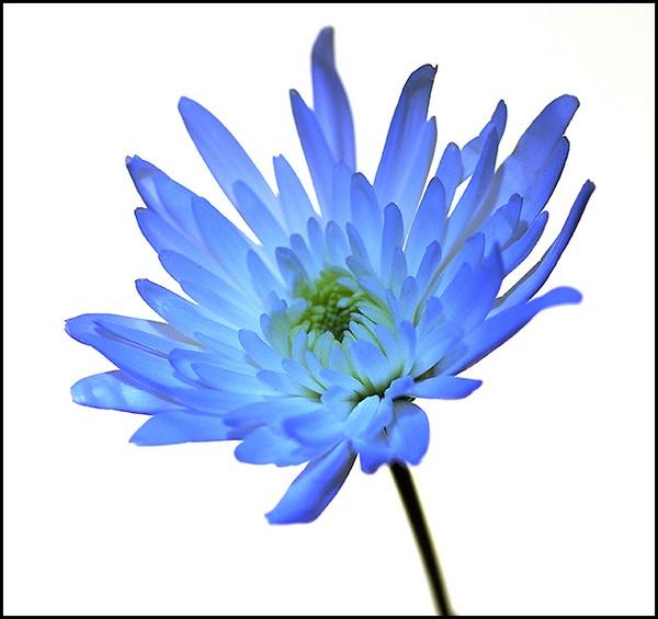 Backlit Bloom by philsmed