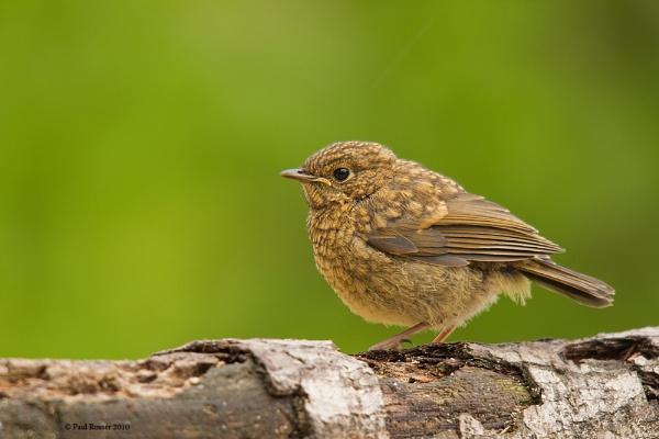 Juvenile Robin by paulrosser