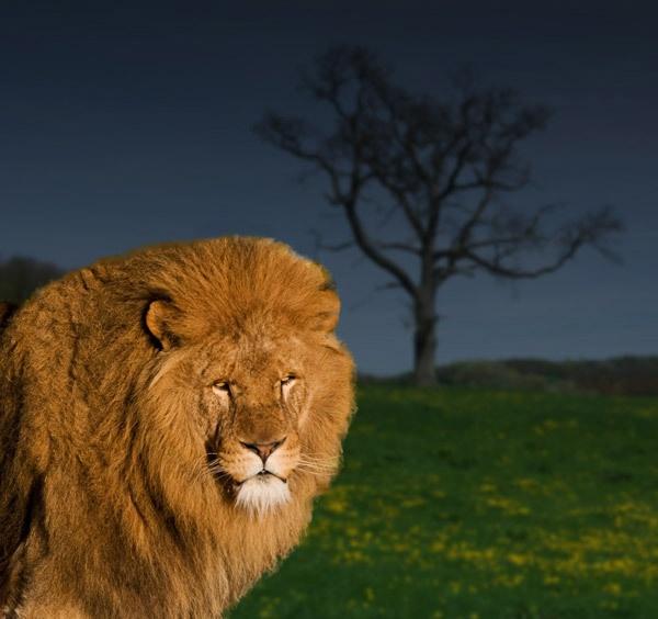 Lion by telstar500