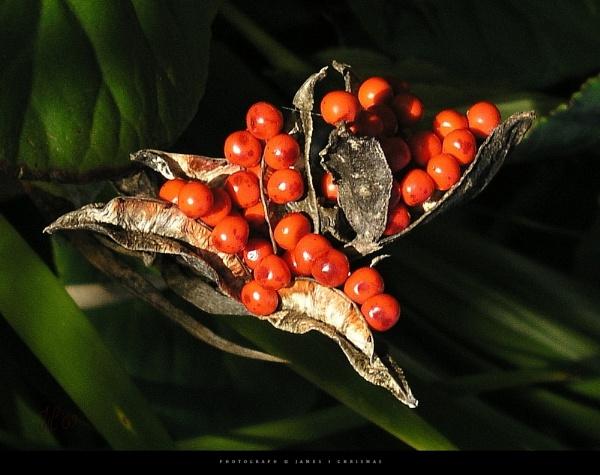 Berries by James_C