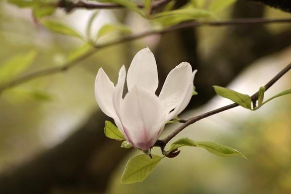 blossom by alianar