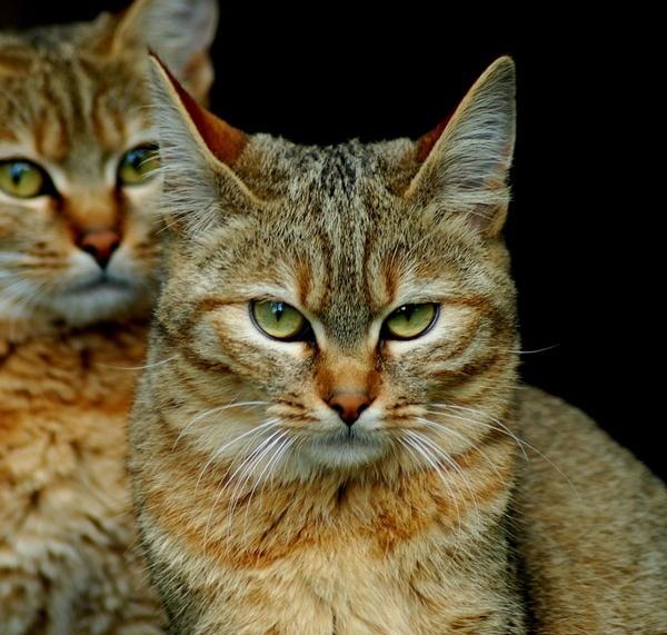 Wild Cat Strike by doolittle