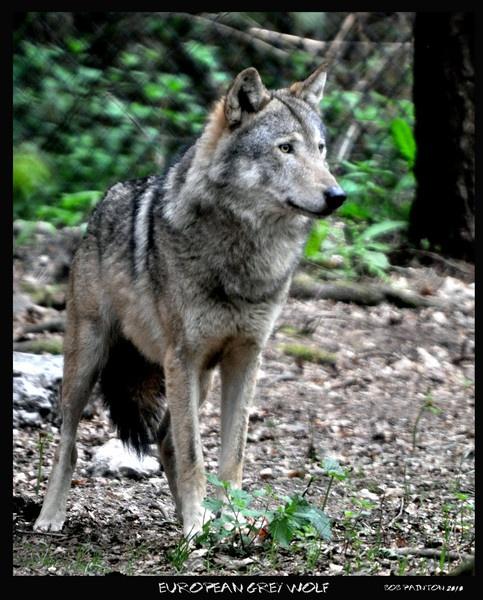 european grey wolf by bobspicturebox