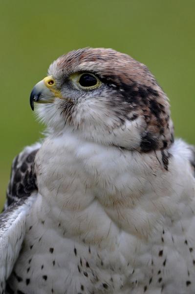 Pergrine Falcon by CarlNECT