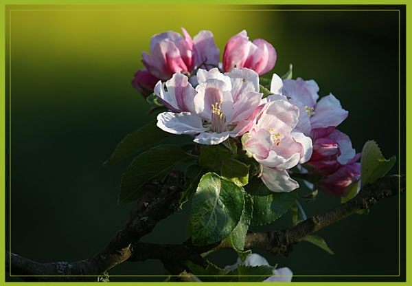 apple blossom by andymark