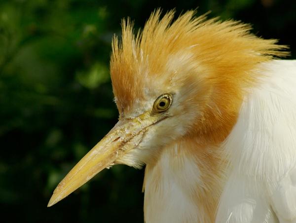 Cattle Egret by bigredtim