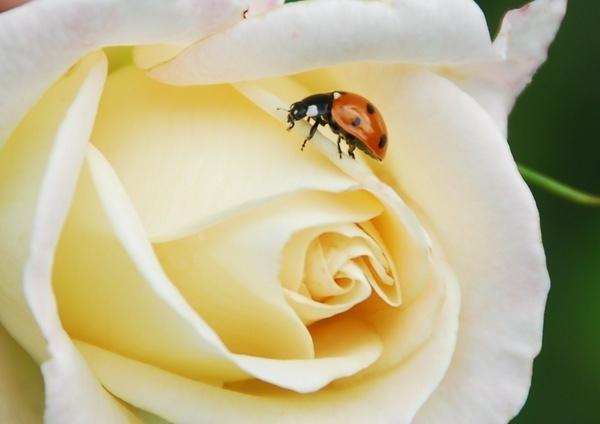 Ladybird amongst the thorns by sallybea