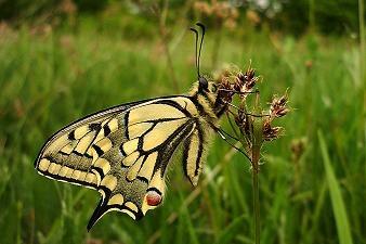 swallowtail butterfly by RoxanaAdina