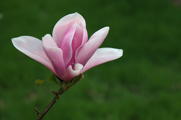 Magnolia blossom by markharrop