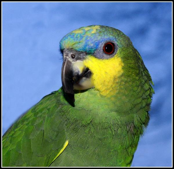 Johns Parrot by sybilla