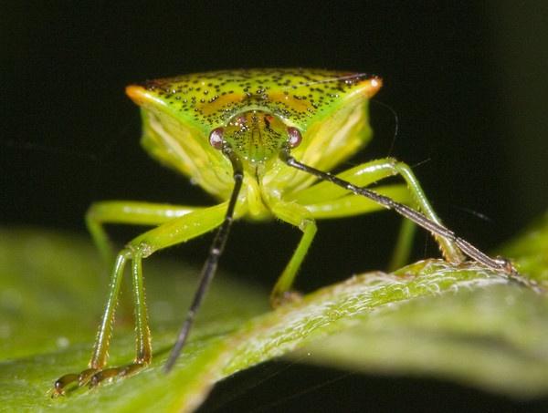 Green Shield bug by neil john
