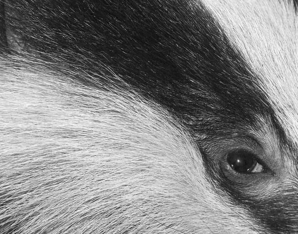 Badger\'s eye by neil john