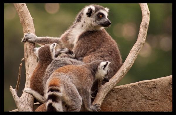 Lemur Lookout by PeelNStick