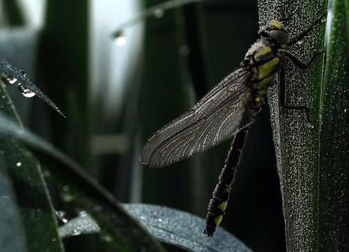 dragonfly dew by faulknerstv