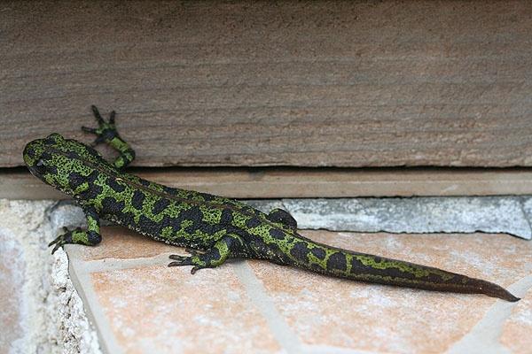 Salamander by BarrieC