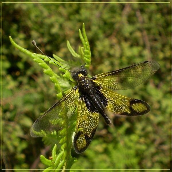 Ascalaphus labelloid longicornis by CarolG
