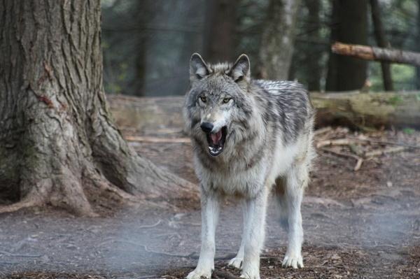 Wolf 2 by idz612