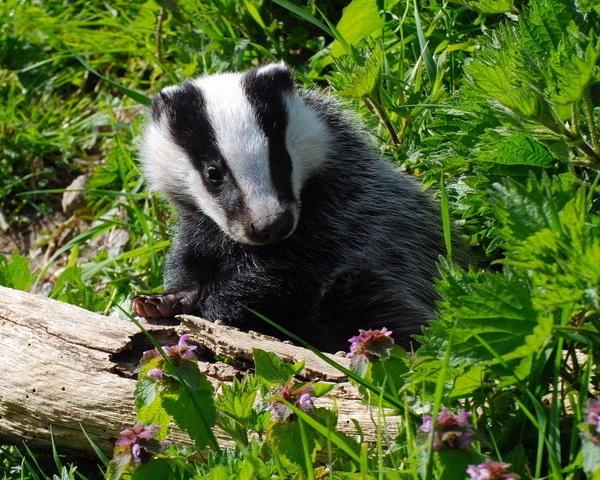 Badger Cub by jgmford