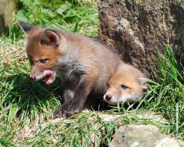 Fox Cubs by jgmford