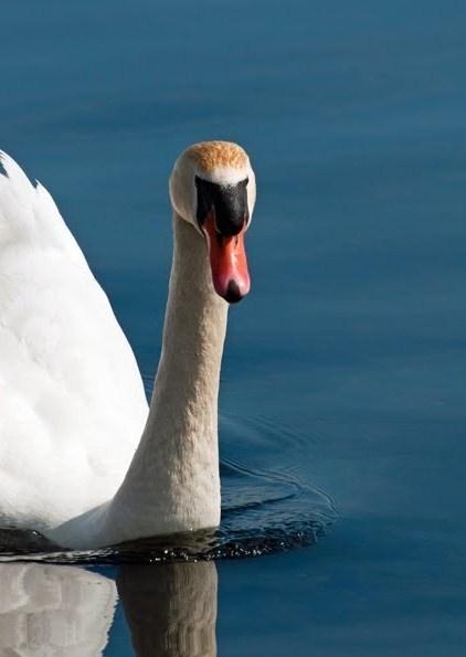 Mute Swan by susanann