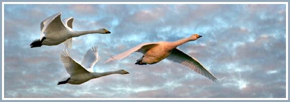 Swans over Caerlaverock by aliciabeesley