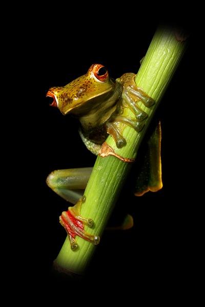 Jade tree frog by Angi_Wallace