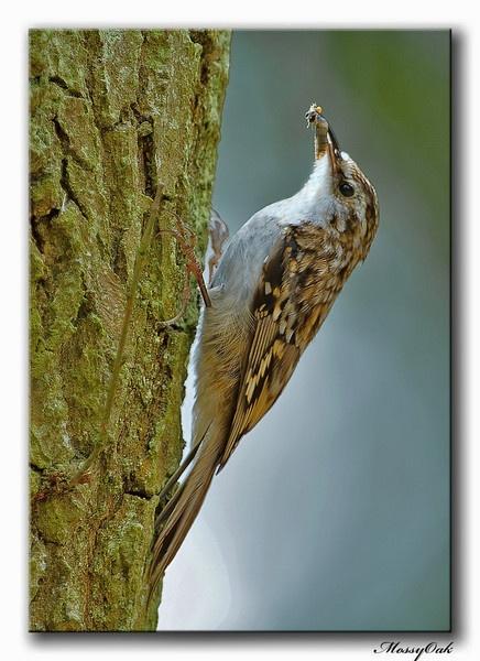 Treecreeper by Shroomer