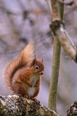 Red Squirrel 1 by mattphotos