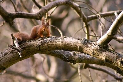Red Squirrel 2 by mattphotos