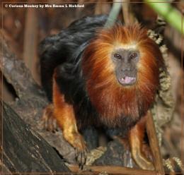 Curious Monkey